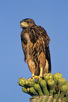 A Harris Hawk fledgling (Parabuteo unicinctus) pauses after his first flight; Sonoran Desert, Arizona