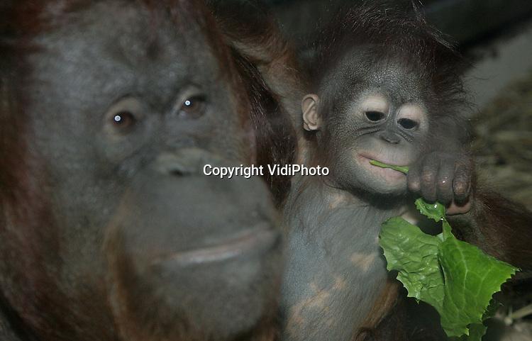 Foto: VidiPhoto..APELDOORN - De Apenheul in Apeldoorn heeft een wereldprimeur. Orang oetan-pleegmoeder Sandy verzorgt op dit moment drie orang-jonkies: de pasgeboren Dayang van collega-moeder Fientje, haar eigen half jaar oude .jong Samboya en pleegkind Winti (5). Nog nooit eerder gebeurde het dat een apenmoeder met jong aan de borst, ook de verzorging van een andere kind op zich nam. Sandy doet het echter met veel plezier. Fientje geeft geen melk en kan haar eigen jong daarom niet voeden. De dieren zitten in de winter achter glas. Zondag is de Apenheul één dag open voor de traditionele Apenheul-IVN Erwtensoeptocht, zodat ook bezoekers kunnen meegenieten van dit natuurwonder. Foto: Moeder Sandy met Samboya.
