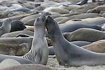 Juvenile elephant seal bulls