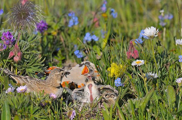 Female Horned Lark or Shore Lark (Eremophila alpestris) feeding young at nest in alpine tundra.  Western U.S., Summer.