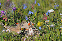 Female Horned Lark or Shore Lark (Eremophila alpestris) feeding young at nest in alpine tundra.  Western U.S., Summer.