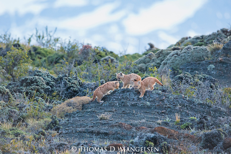 A trio of Puma kittens play on the rocky terrain in Patagonia, Chile.