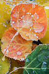 Frozen raindrops and frost create a jewel-like appearance on fallen Aspen leaves on a cold autumn morning, Colorado, USA.