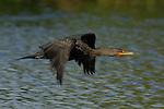 Cormorant in Flight Double-crested Cormorant Sepulveda Wildlife Refuge LA