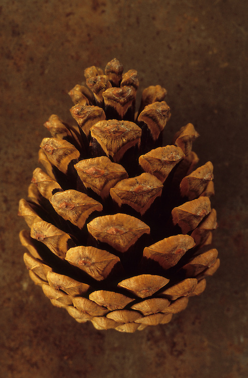 Close up from above of pine cone of Scots pine or Pinus sylvestris tree lying on rusty metal sheet