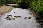 horses crossing river in secluded rainforest.Sueno Azul, Costa Rica.... .