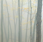 autumn trees in fog, Pikes Peak State Park, Clayton County, Iowa