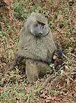 Savanna Baboon with baby in Ngorongoro Crater (Papio cynocephalus) August 16, 2006. © Fitzroy Barrett