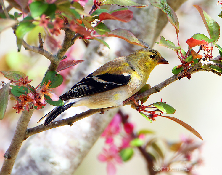 Male American goldfinch molting to breeding plumage