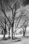 Dream Time Oak Trees, Minnehaha Park, Minnesota
