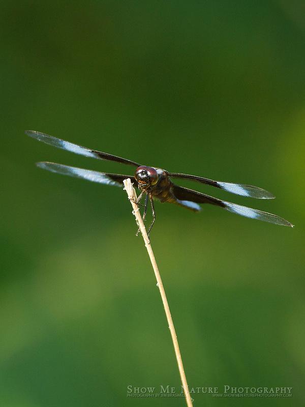 Widow Skimmer perched on dead grass stalk