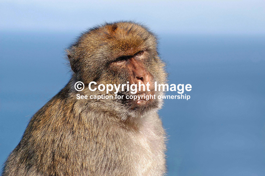 Barbary Ape on the Rock of Gibraltar. Ref: 200211041265...Copyright Image from Victor Patterson, 54 Dorchester Park, Belfast, UK, BT9 6RJ..Tel: +44 28 9066 1296.Mob: +44 7802 353836.Voicemail +44 20 8816 7153.Skype: victorpattersonbelfast.Email: victorpatterson@mac.com.Email: victorpatterson@ireland.com (back-up)..IMPORTANT: If you wish to use this image or any other of my images please go to www.victorpatterson.com and click on the Terms & Conditions. Then contact me by email or phone with the reference number(s) of the image(s) concerned.