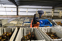 Mat Brake, 39, sorts live lobsters at Island Seafood's receiving facility in Eliot, Maine, USA, on Wed., Jan. 31, 2018. Brake has been working at Island Seafood for almost 12 years. Lobsters are sorted into similar sizes and then moved to a packing facility to be shipped to customers around the world.