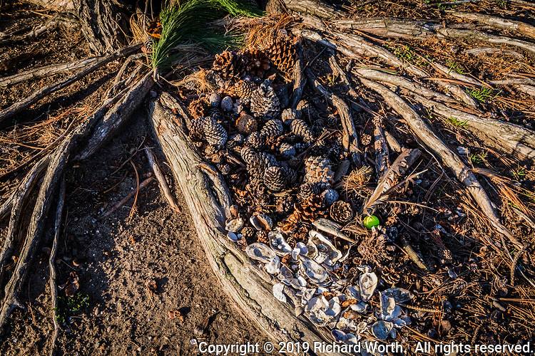The exposed and weathered roots radiating from the base of a tree at an urban park serve as the frame for an art creation of shells, pine needles, pine cones, with a focus point of a bright lime green golf ball under three tattered feathers.