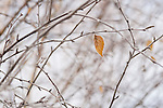 Birch leaf frost on bare limbs in winter