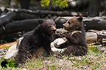 Young grizzly bear cubs playing. Yellowstone National Park, Wyoming.