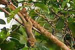 Plantain Squirrel (Callosciurus notatus) feeding on fruit, Tawau Hills Park, Sabah, Borneo, Malaysia
