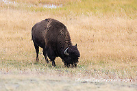 01985-02702 Bison (Bison bison) near Midway Geyser Basin Yellowstone National Park, WY