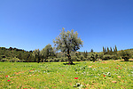 Israel, Upper Galilee, Olive grove by Kibbutz Parod