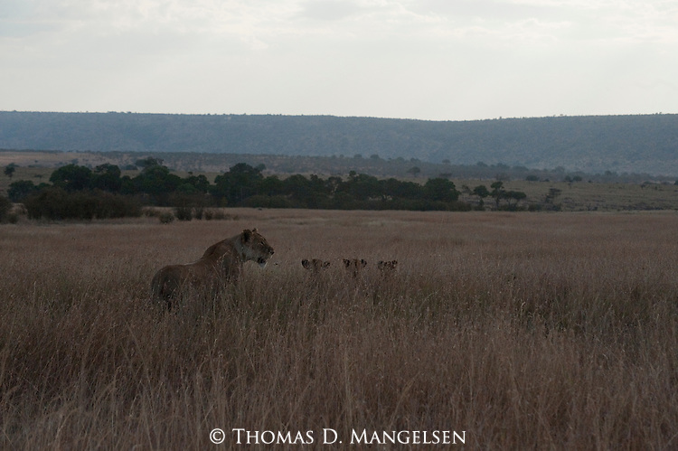 A lioness and her cubs rest on a grassy plain in Maasai Mara, Kenya.