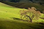 Oak tree and cow in pasture, Mt. Diablo State Park, Contra Costa County, CALIFORNIA