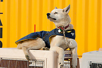A Hugh Neff dog sits atop his house and airline kennel in the Nome dog lot waiting for his flight out during the 2010 Iditarod