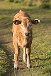 Brazoria County, Damon, Texas; a newborn calf stands on a path through the pasture in early morning sunlight