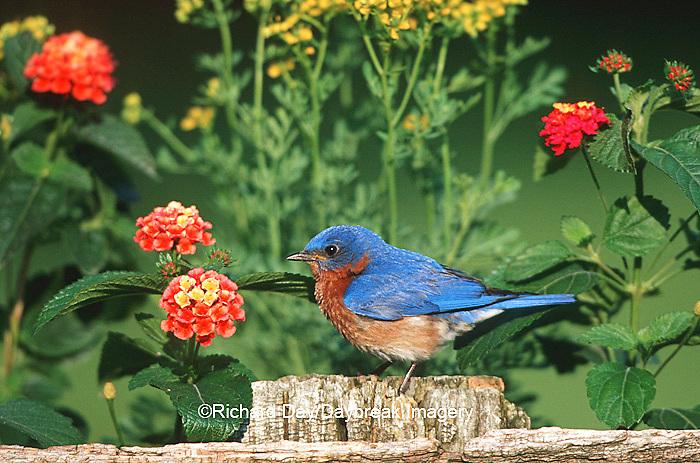 01377-133.18 Eastern Bluebird (Sialia sialis) male on wooden fence near garden - Lantana & Rue  Marion Co.  IL