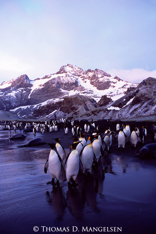 A king penguin colony in Gold Harbour on South Georgia.