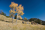 Family group outdoors on a crisp and cool fall morning riding horses on a wrangler-led ride, amid aspen groves high in the Rocky Mountains, near Estes Park, Colorado, USA (MR #88)