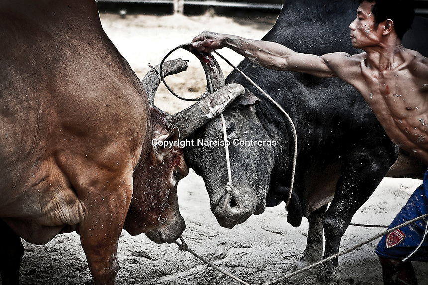 "At the training bulls exhausted are pushed to fight encourage them using cords to pull them and force to face each other and avoid they run away from the encounter. Widely spread in Asia, the bull fighting is one of the most famous ""games"" for entertainment. During weeks the bulls are trained to face every end of the month a new encounter, when the owners and fans are betting a lot of money. The ""game"" gives an enormous amount of fun to many people as well."