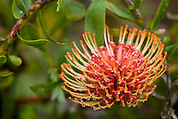 A pincushion protea blooms among the lavender fields of Alii Kula Lavender farm at the base of Haleakala, Kula