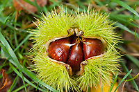 Chestnuts, Isone, Ticino, Switzerland, October 2013.
