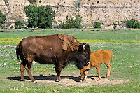 American Bison (Bison bison) cow and calf.  Western U.S., summer.