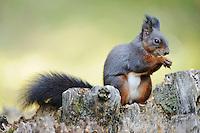 Red squirrel (Sciurus vulgaris), adult black phase, Switzerland, Europe