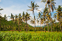 Picture of Tropical Palm Trees on Mangsit Beach, Lombok, Indonesia. This panoramic photo shows the tropical palm trees that line Mangsit Beach on Lombok Island, Indonesia.