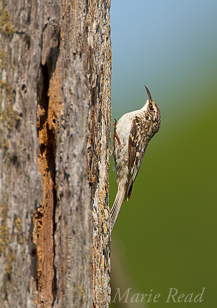 Brown Creeper (Certhia americana) clinging to treetrunk near its nest site, New York, USA