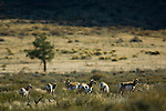 Pronghorn Antelope (Antilocapra americana) herd, Grand Teton National Park, Wyoming