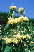 Yellow flowers of Jerusalem Sage perennial plant Phlomis russeliana