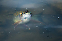 A rainbow trout rises to a baetis mayfly on the Madison River near Bozeman, Montana