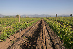 Chile Wine Country: Vineyards at Undurraga Winery, Vina Undurraga, near Santiago. .Photo #: ch419-33893..Photo copyright Lee Foster, 510-549-2202, www.fostertravel.com, lee@fostertravel.com.