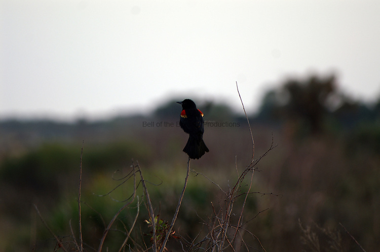 A red winged blackbird sings to claim its territory and announce its presence.