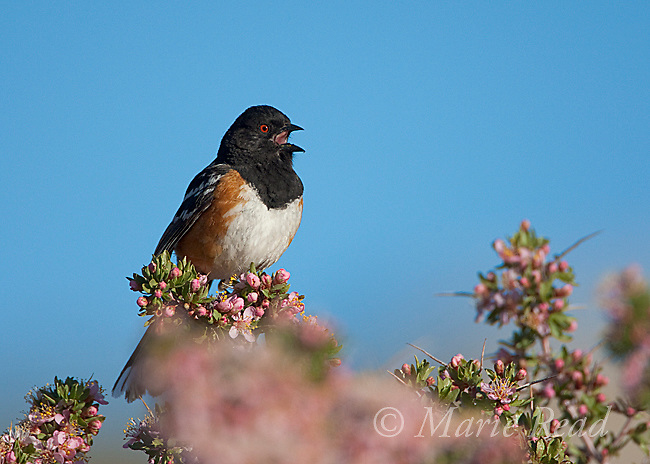 Spotted Towhee (Pipilo maculatus), male singing while perched in flowering Desert Peach (Prunus andersonii), Mono Lake Basin, California, USA
