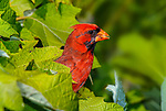 A Sloppy Eater, The Northern Cardinal Male wet with berry juice everywhere, Cardinalis cardinalis