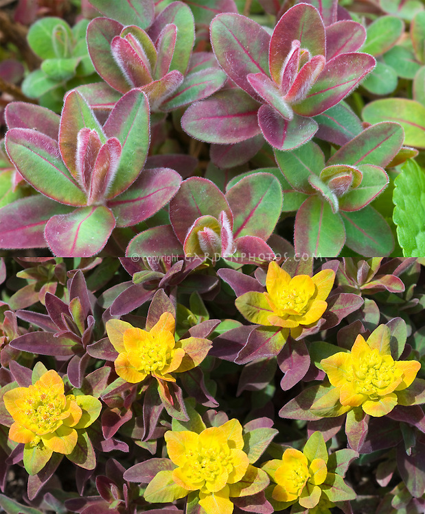 Euphorbia Bonfire in two stages, early spring color and in yellow flower
