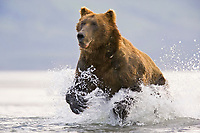 Kodiak grizzly bear (Ursus arctos middendorffi), Hallo Bay