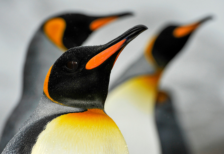 Facial view of King Penguin ( Aptenodytes patagonicus ), Jason harbour, South Georgia