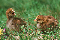 Rhode Island Red Chickens