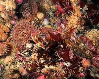 Red Irish Lord amongst anemones.