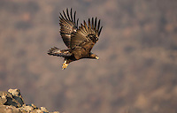 Golden Eagle, Aquila chrysaetos, adult, flight, Bulgaria